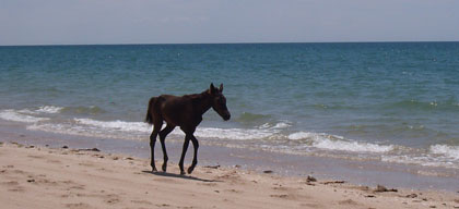 colt running on beach